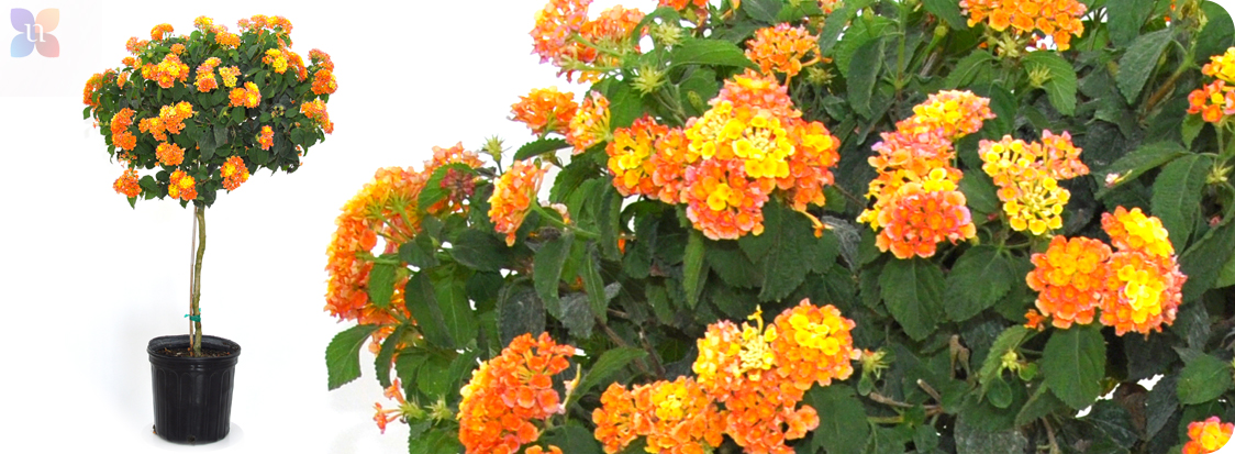 Lantana Hanging Basket Stunning United Nursery LLC Lantana Tree United Nursery LLC