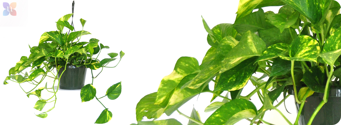United Nursery Llc Golden Pothos United Nursery Llc